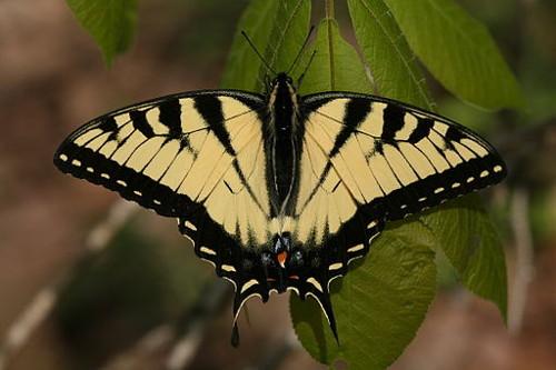 Resultado de imagen de mariposa de austin